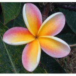 Jardin des Plantes 200PCS / BAG Plumeria (Frangipani, hawaïen Fleur) Semences, rares graines de fleurs exotiques Bonsai Seed