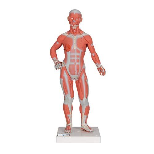 3B Scientific B59 Modelo de Anatomía Humana Figura Muscular, 1/3 de Su Tamaño Natural + Software de Anatomía Gratuito - 3B Smart Anatomy, en 2 Piezas