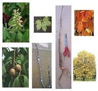 1 Ohio Buckeye Tree, 8+in, Fast Growing Shade, Windbreaks- Ships Now - Read Ad