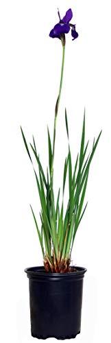 Iris sibirica 'Caesar's Brother' (Siberian Iris)