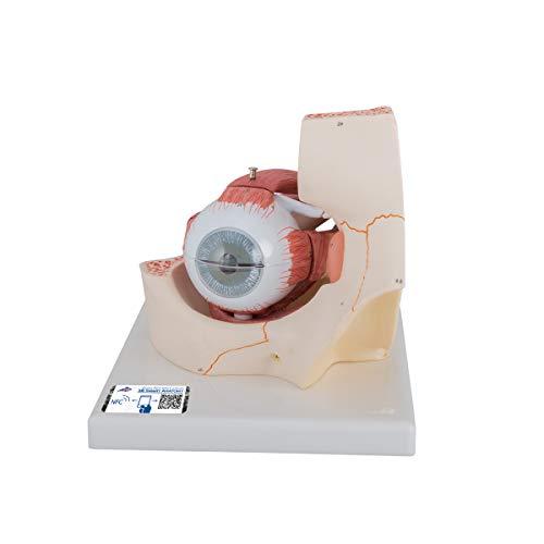3B Scientific Menschliche Anatomie - Auge in Augenhöhle, 3-fache Größe, 7-teilig + kostenloser Anatomiesoftware - 3B Smart Anatomy
