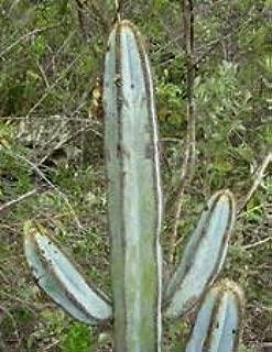 ANVIN Germination Seeds:Piloso Fulvi Exotic Columnar Tall Seed 300 Seeds