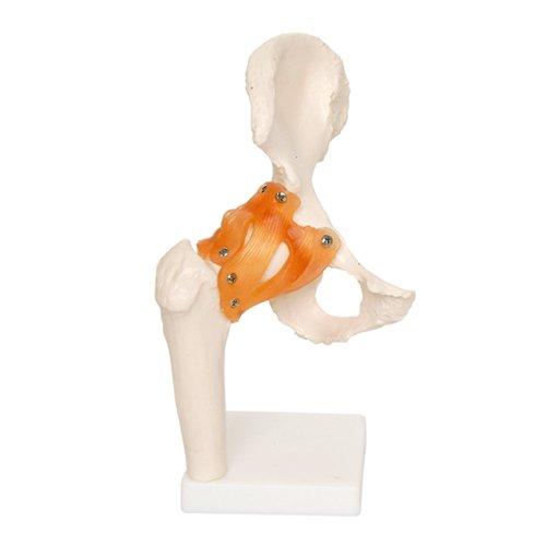 66FIT - Modello anatomico articolazioni dell'anca