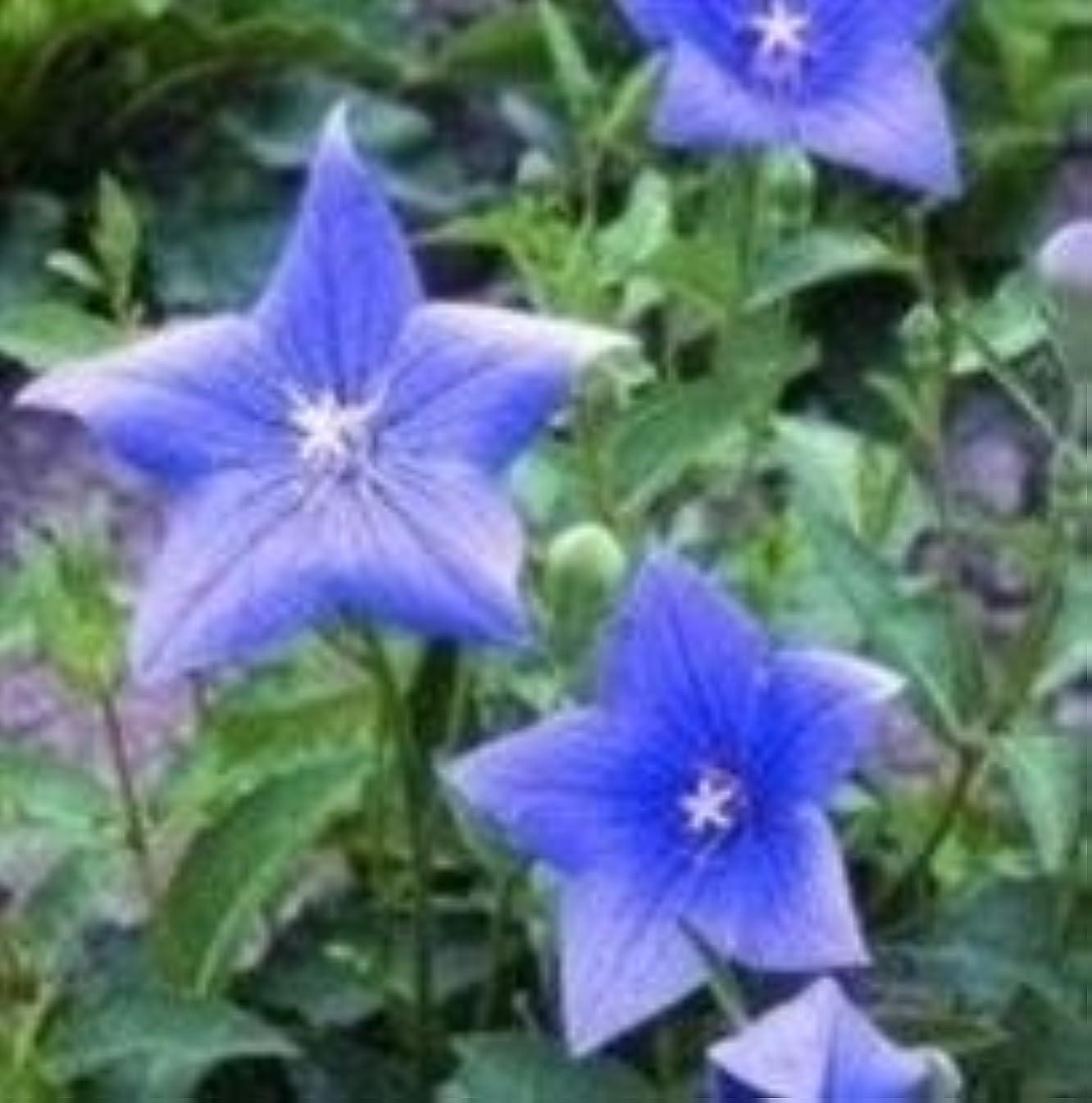 Herb Seeds - Common Bellflower - 100 Seeds