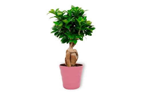 Ficus Ginseng – higo chino – Bonsái de interior en maceta rosa – Altura +/- 25 cm incluida maceta – 12 cm de diámetro (maceta) – Fácil cuidado Bonsái Palme