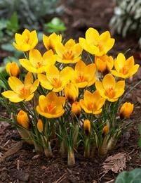 100PK Crocus planten, krokus planten, bloemen van de krokus saffraan, Tuin Bloemen plant, Bonsai installatie voor huis tuin: 12