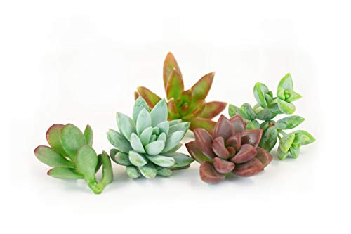 Shop Succulents Assortment of Hand Selected Live Succulent Cutting for Arrangements and DIY Projects, 5-Pack