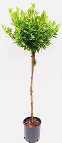 Kirschlorbeer-Stamm mit Krone, Höhe: 120-130 cm, Prunus l. 'Piri', immergrün und winterhart