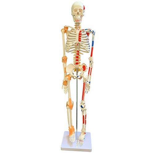 CLHCilihu Skeleton Modell Human Anatomy mit Körper Muskeln und Bänder beweglichen Gelenke für Wissenschaft Klassenzimmer Medizinische Fakultät Klinik Bildung Lehrmittel 85cm