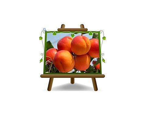abricotier Paviot arbre de abricots plante fruitière sur un pot de 26 max 200 cm - 4 ans
