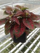 Hypoestes Seeds (Splash Select Red) 50 graines, Grande intérieur ou à l'extérieur!