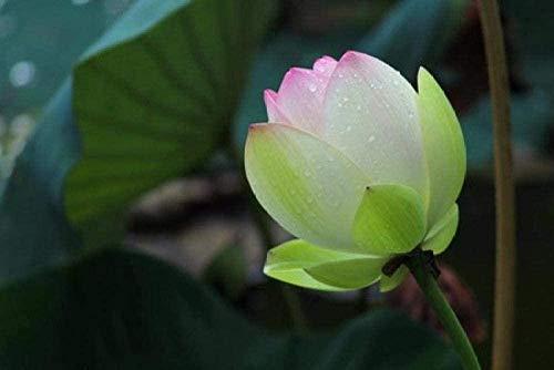 LYBSSG Puzzle Rompecabezas para Adultos 1000 Piezas -Lotus After Rain - Juego Educativo