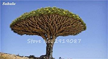 VISTARIC 13: 30 Pcs Redwood Coast Seeds Sequoia sempervirens Bonsaï Plantes en pot Maison et Jardin Air frais Le jardin 13 Diy