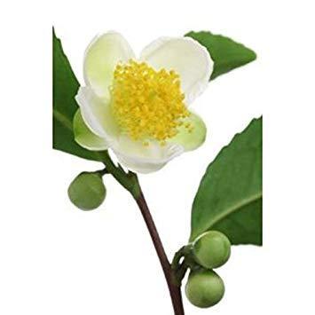 Potseed Camellia sinensis Teepflanze 5 Samen