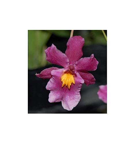Stk - 1x Goodaleara Tahitian Dancer Multiflower Orchidee Pflanze OW88 - Seeds Plants Shop Samenbank Pfullingen Patrik Ipsa