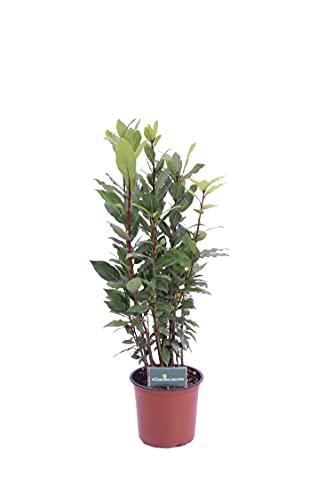 Pianta di Alloro Pianta di Laurus Nobilis pianta di Alloro ornamentale pianta aromatica pianta vera di Alloro venduta da eGarden.store (Alloro vaso 15)