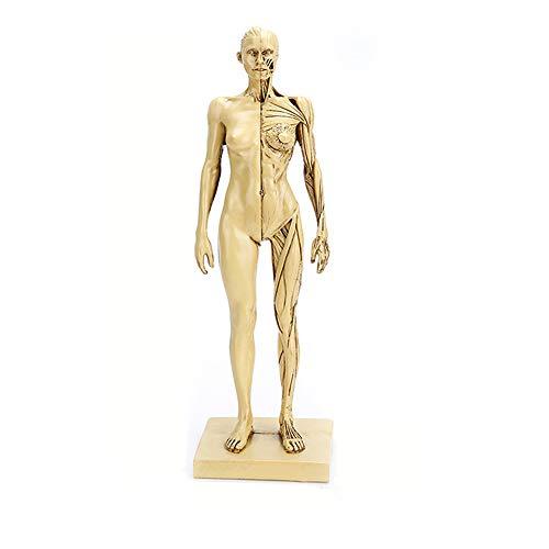 28.5cm menschliche Körper-Anatomie Figur - Weibliche Anatomie Abbildung Oberflächliche Muskel Anatomie Modell - Resin Material Art Körper-Mannequin-Malerei Skulptur - für Schule Studie Lehre