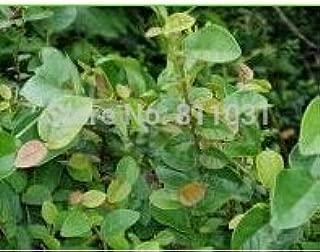 New Home Garden Plant 20 Seeds Genuine Climbing Fig Ficus Pumila Creeping Fig Seeds