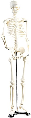 newgen medicals Deko Skelett: Original Lehrmittel Anatomie Skelett auf Ständer, 85 cm (Modell Skelett)