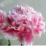 18色がありますカーネーションの種多年生の花鉢植え園芸植物Caryophyllus花の種子200個18