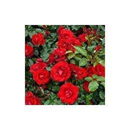 Shop Meeko Rose Ruby Wishes- Regalo Ideale per Una Ruby o 40 ° Anniversario di Matrimonio