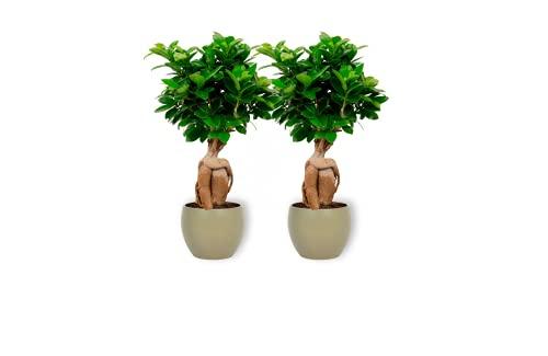 Ficus Ginseng – higo chino – Bonsái de interior en maceta verde – Altura +/- 25 cm incluida maceta – 12 cm de diámetro (maceta) – Fácil cuidado Bonsái Palme
