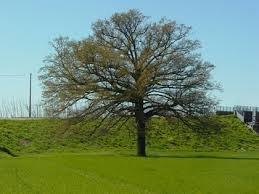 pianta piante albero astone di quercia subir quercia in vaso altezza variabile da 140/180