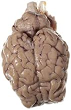 Nasco Sheep Organ - Brain; with Hypophysis and Cranial Nerve Roots Lab Specimen - LS03570