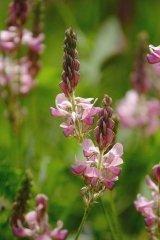 JustSeed Saat-Esparsette/Onobrychis viciifolia, Britische Wildblume, 60Samen