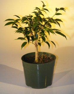 Pre Bonsai Ficus Midnight Bonsai Tree - Large (benjamina 'midnight')