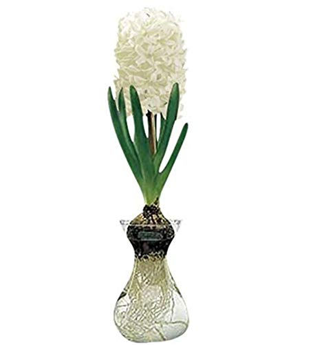 Hyacinth in glass bulb vase