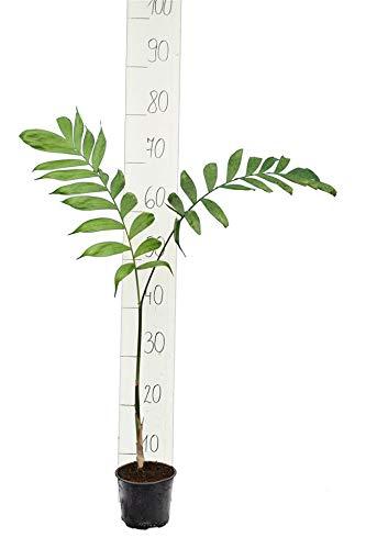 Bambuspalme - Chamaedorea microspadix - Gesamthöhe 80-100 cm - Ø 13 cm Topf