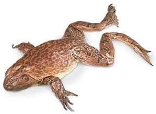 Nasco Bullfrogs (Rana sp.) - Size: 5