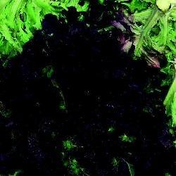 Bio Graines de l?gumes???Suffolk herbes Laitue Rouge Saladier g?n?rations Lot
