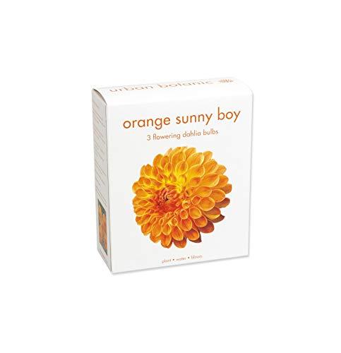3 Large Dahlia Tubers (Bulbs) | Sunny Boy Orange | Bloom All Summer Long