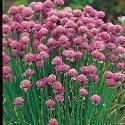 Il vous suffit de graines fines herbes???ciboulette Medium Feuilles???Allium Schoenoprasum Medium???5000?Graines