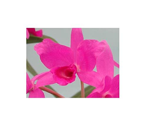 Stk - 1x Cattleya skinneri Casa Luna Multiflower pink Orchidee Pflanze OW37 - Seeds Plants Shop Samenbank Pfullingen Patrik Ipsa