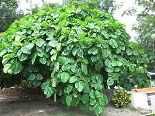 Ficus Roxburghii Roxburgh Fig AMND-833