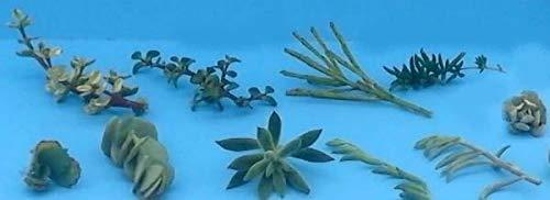 PLAT FIRM Graines de Germination : 10 Assortiment Sukkulenten Stecklinge/Transplantées/Stecklinge - 10 Verschiedene Va