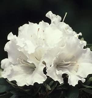 gumpo white azalea