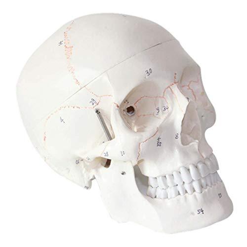 ZJM Modelo De Cráneo Humano con Marcas, 1: 1 Tamaño Médico Anatomía Médica Cabeza Modelo Esqueleto, con Tapa De Cráneo Extraíble Y Mandíbula Articulada, para Investigación Médica, Enseñanza