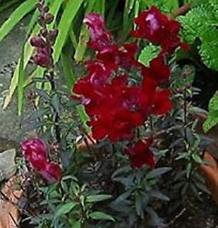 50+ Black Prince Snapdragon Antirrhinum Flower Seeds/Self-Seeding - Garden Green Seeds
