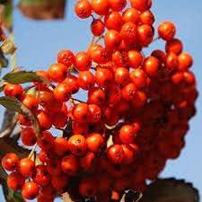 Elwyn Under blast sales Quantity limited 20 Mountain Tree Ash Seeds