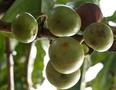 Vangueria Spinosa, very rare tropical shrub, 5 graines