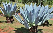 Rare Agave Americana siècle plante @ Succulent exotiques maguey Aloe Seed 100 graines