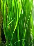 Mühlan Wasserpflanzen 7 Vallisneria gigantea + 3 Echinodorus bleheri +++