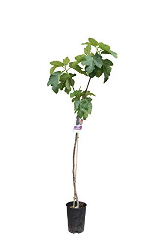 Ficus Carica - essbare Feige - Höhe: 150 cm - frosthart - feigenbaum - dunkel