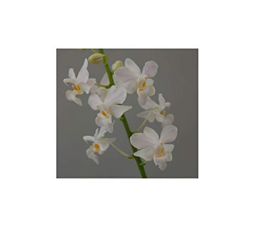 Stk - 1x Doritis pulcherrima alba (Jgpfl.) weiß Orchidee Pflanze OW73 - Seeds Plants Shop Samenbank Pfullingen Patrik Ipsa