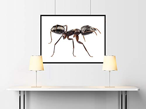 Insect Photography-Insektenfotografie-Insecte Camponotus Vagus 01 Papel Acuarela 60x90 cms