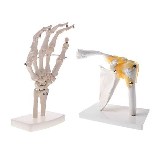 Toygogo 2 piezas de mano y articulación de hombro, modelo de ciencia para estudios de decoración, escultura de laboratorio.